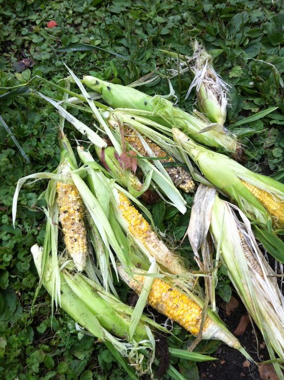 2013 Sweet Corn
